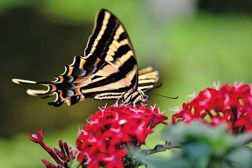 Swallowtail, Butterfly, Flower, Tropical Butterfly