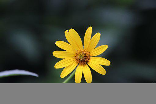 Chrysanthemum, Flower, Bloom, Yellow Flower