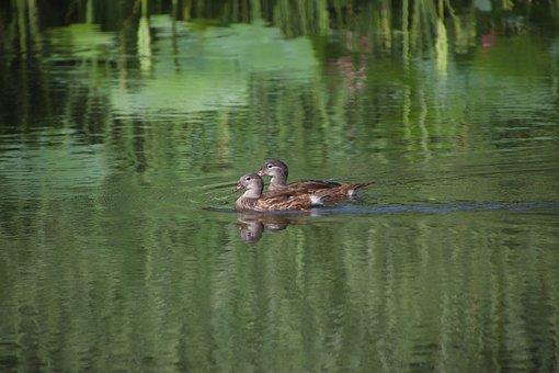Mallard, Ducks, Birds, Wading, Anatidae, Water Birds