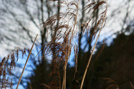 Reed, Grasses, Field, Plants, Meadow, Nature, Closeup