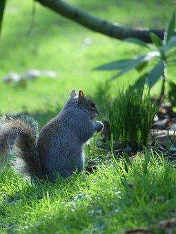 Squirrel, Grass, Rodent, Foraging, Wildlife, Wilderness