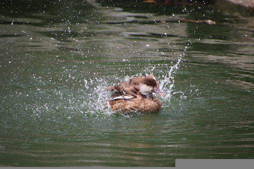 Mallard, Duck, Bird, Waterfowl, Water Bird