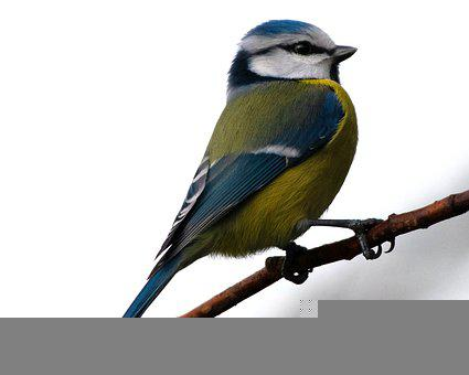 Blue Tit, Bird, Tit, Perched, Perched Bird, Feathers