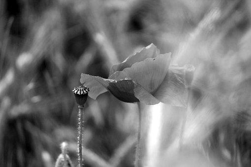 Poppy, Nature, Close Up, Black And White, Meadow