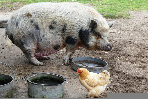 Potbellied Pig, Petting, Mammal, Fat, Pig, Breed Of Pig