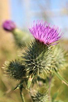 Thistle, Scotland, Scottish, Flower, Nature, Purple