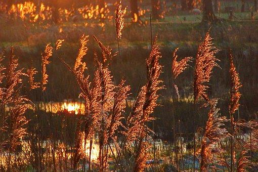 Reed, Sunrise, Brand, Sun, Twilight, Dramatic, Pacific