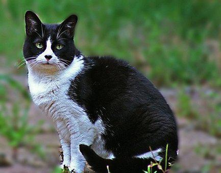 Cat, Feline, Mammal, Animal, Pet, Cute, Adorable, Fur