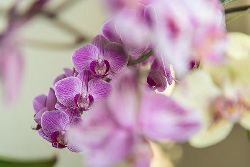 Orchids, Flowers, Purple Orchids, Purple Flowers