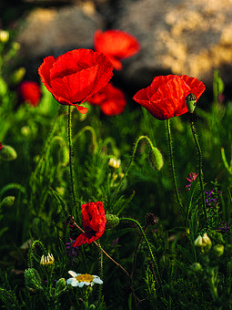 Poppies, Flowers, Red Poppies, Red Flowers, Wildflowers