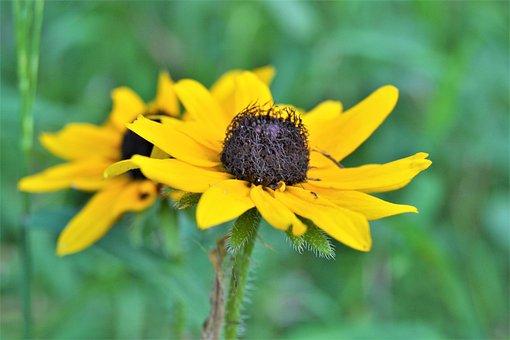 Black-eyed Susan, Flower, Yellow Flower, Yellow Petals