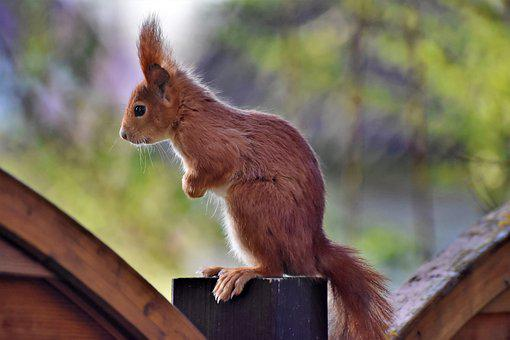 Squirrel, Verifiable Kitten, Rodent, Animal, Nager