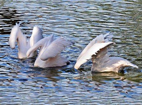 Pink Pelicans, Pelicans, Beams, Nature, Pink