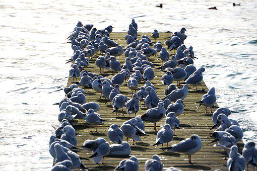 Gulls, Birds, Flock Of Birds, Boardwalk, Jetty, Pier