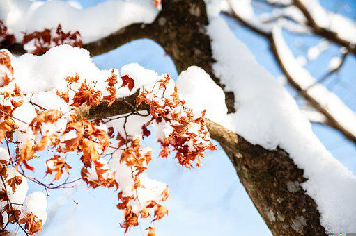 Snow, Tree, Leaves, Branches, Snowy, Snow Covered