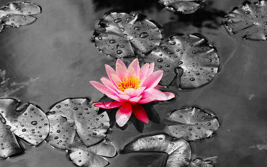 Water Lily, Pond, Lily Pads, Flower, Color Pop