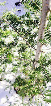 Tree, Evergreen, Green, Conifer, Nature, Woods