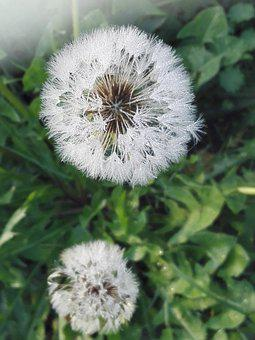 Dandelion, Seed Head, Dew, Plant, Blowball, Seeds