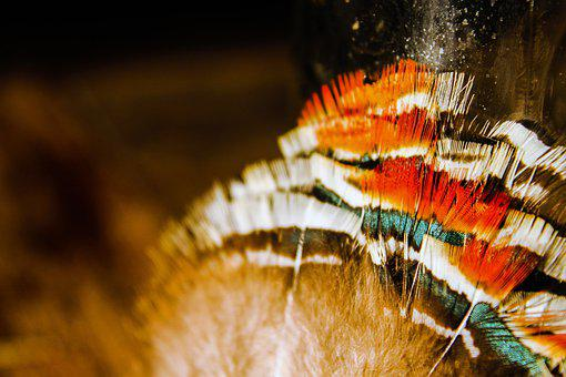 Feathers, Pow Wow, Feather, Traditional, Regalia