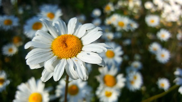 Flower, Daisy, Pollen, White Daisy, White Flower