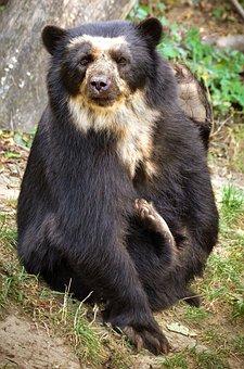 Spectacled Bear, Bear, Funny, Enclosure, Fur, Mammal