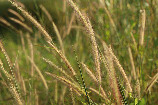 Reed, Grasses, Field, Plants, Meadow, Environment