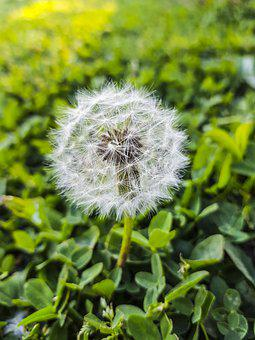 Dandelion, Plant, Seed Head, Blowball, Seeds