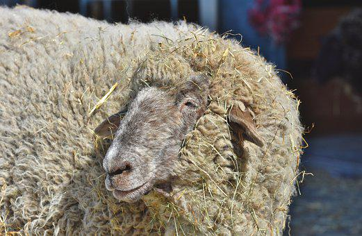 Sheep, Livestock, Sheep's Wool, Flock Of Sheep, Pasture