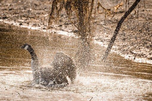 Duck, Lake, Water, Bird, Nature, Animal, Swan
