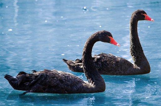 Swan, Black Swan, Mourning Swan, Black, Elegant, Water
