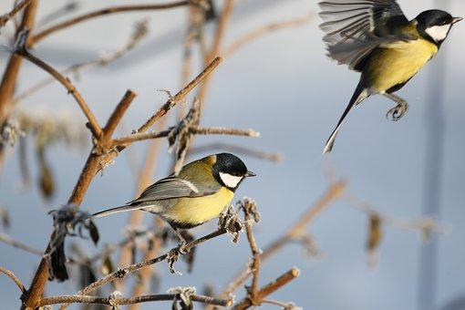 Tit, Bird, Winter, Garden, Songbird, Foraging, Wintry