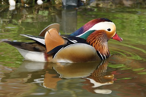 Duck, Mandarin Ducks, Aix Galericulata, Duck Bird, Bird