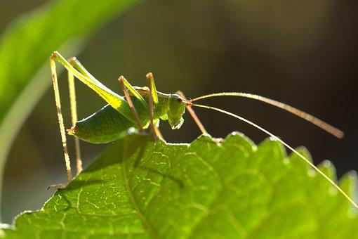 Grasshopper, Green, Close Up, Nature, Grille, Animal