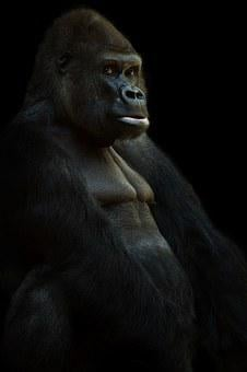 Gorilla, Silverback, Ape, Animal, Monkey, Leader, Black