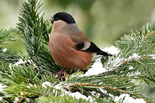 Bullfinch, Bird, Female, Animal, Pyrrhula, Foraging
