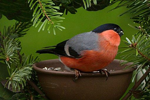 Bullfinch, Pyrrhula, Bird, Males, Garden, Foraging