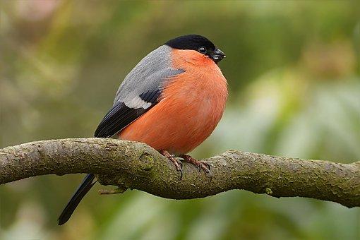 Bullfinch, Pyrrhula, Bird, Male, Tree, Garden, Foraging