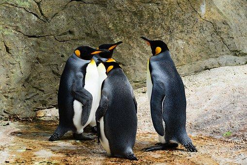 King Penguin, Penguins, Group, Animals, Birds, Wild
