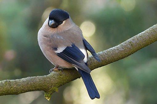 Bullfinch, Pyrrhula, Bird, Female, Tree, Garden