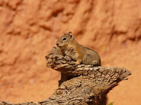 Golden Mantled Ground Squirrel, Squirrel