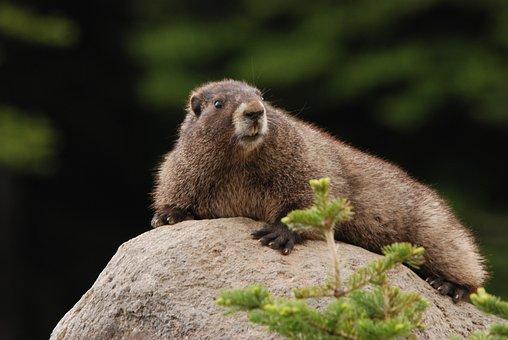Marmot, Hoary Marmot, Rock, Sun, Fauna, Mammal, Rodent