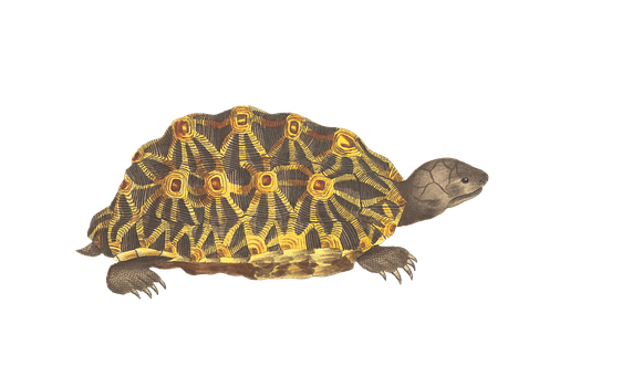 Turtle, Animal, Reptile, Vintage, Isolated