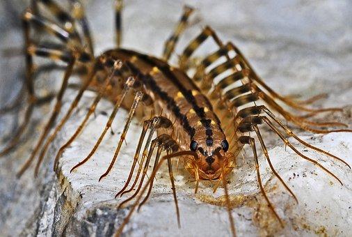 Centipede, Insect, Macro, Arthropod, Predator, Creepy