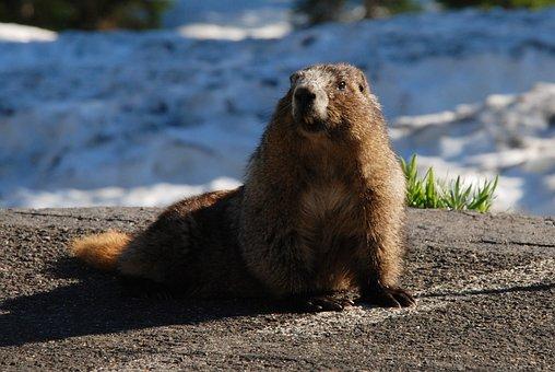 Marmot, Hoary Marmot, Rodent, Mammal, Washington State