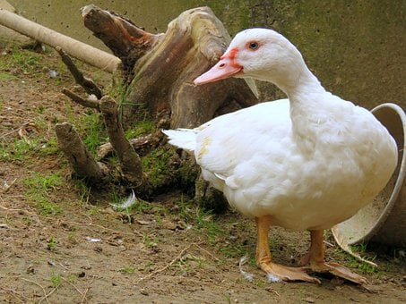 Duck, Flying Duck, White, Duck Bird, Plumage, Poultry