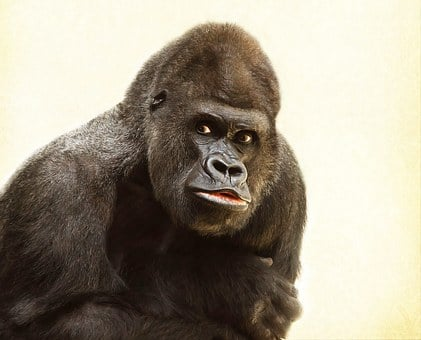 Gorilla, Silverback, Animal, Silvery Grey, Imposing