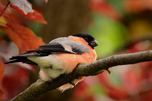 Bird, Bullfinch, Gimpel, Male, Pyrrhula, Sitting, Tree