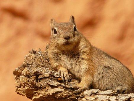 Golden Mantled Ground Squirrel, Spermophilus Lateralis