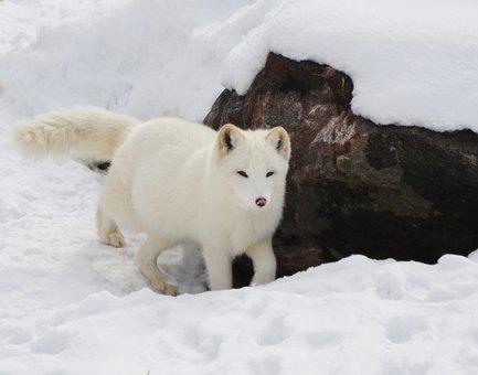 Arctic, Fox, Animal, Mammal, Wild, Wilderness, Winter