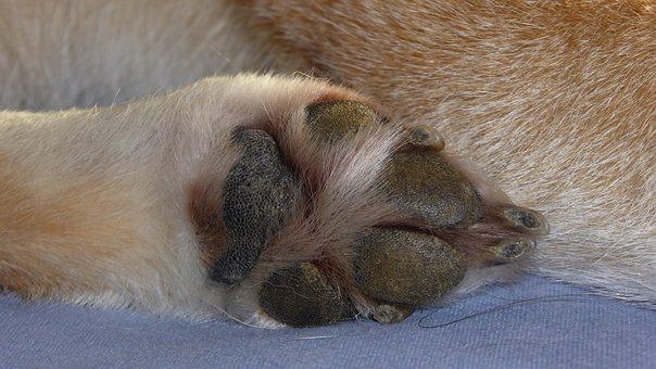 Paw, Dog Paw, Dog, Shiba Inu, Animal, Close